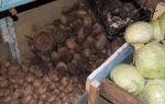 Хранение свеклы после сбора урожая: как сохранить корнеплод зимой в погребе, подвале, квартире и холодильнике