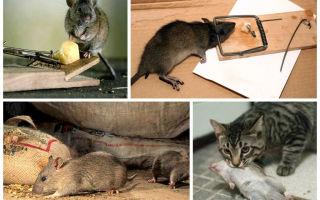 Как избавиться от крыс в доме: эффективные способы вывести грызунов из дома или квартиры