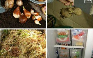 Луковицы тюльпанов: выкапывание и хранение зимой в домашних условиях, проращивание и посадка в почву, советы