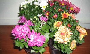 Хризантема в горшке: сорта, правила ухода и особенности выращивания в домашних условиях, болезни и вредители