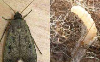 Откуда берется моль в квартире, где живёт и как размножается насекомое