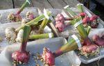 Гладиолусы и лилии: подготовка луковиц и хранение зимой в домашних условиях