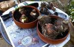 Уход за амариллисом в домашних условиях: посадка и выращивание