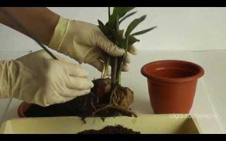 Правильный уход за замиокулькасом в домашних условиях, способы размножения, как правильно поливать цветок