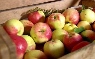 Как сохранить яблоки на зиму в домашних условиях: сорта, способные лежать до зимы и весны