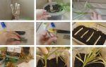 Размножение драцены в домашних условиях: разновидности и пересадка пальмы, размножение черенками и отростками