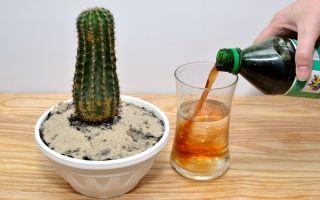 Как правильно ухаживать за кактусом в домашних условиях: особенности разведения и выращивания