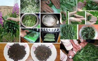 Как правильно собирать и сушить кипрей: способы заготовки и употребления иван-чая