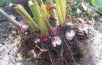 Выращивание, хранение канн и уход за ними: правильная подготовка цветка к зимовке и посадка весной