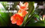Цветок кливия: пересадка и уход; причины, почему не цветет кливия в домашних условиях