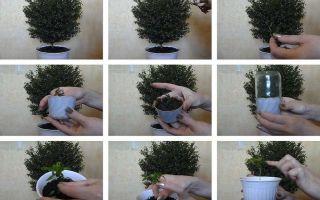 Миртовое дерево: уход в домашних условиях и пересадка, размножение и обрезка, болезни и вредители