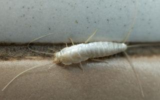 Чешуйница серебристая (сахарная): описание, как избавиться от насекомых в квартире навсегда