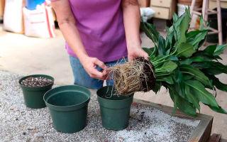 Цветок женское счастье: особенности выращивания, как правильно пересадить и поливать комнатное растение