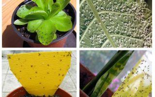 Виды вредителей домашних растений, как избавиться от мошек в комнатных цветах народными средствами