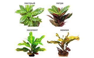 Цветок кротон: виды и сорта растения, уход и пересадка в домашних условиях, болезни и вредители
