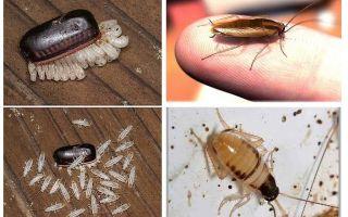 Как избавиться от чёрных тараканов в квартире и доме навсегда: причины появления и средства борьбы