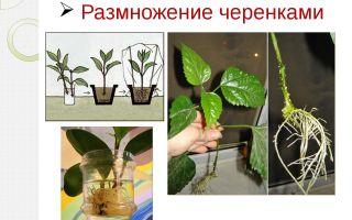 Выращивание афеландры в домашних условиях: описание цветка, правила ухода и способы размножения, фото и видео