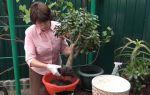 Уход за молочаем в домашних условиях: что важно для роста цветка, как ухаживать, чтобы растение не погибло